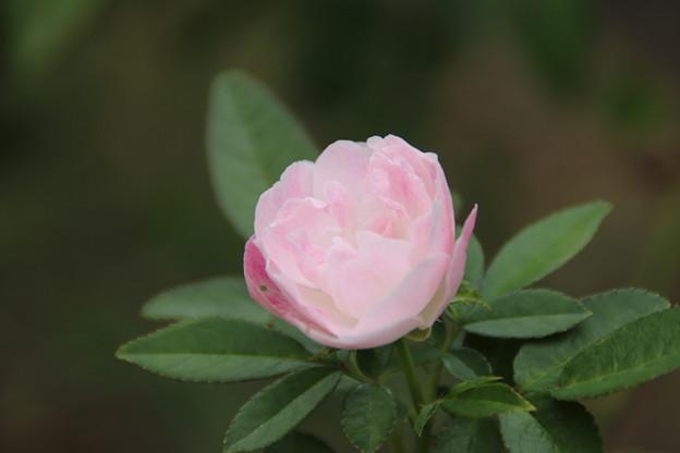 薔薇_公園 D6821