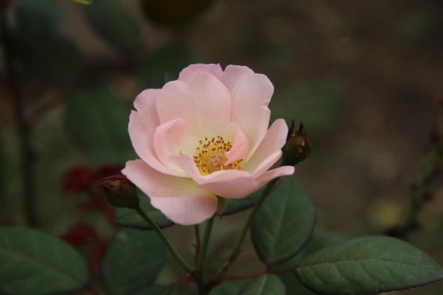 薔薇_公園 D6820