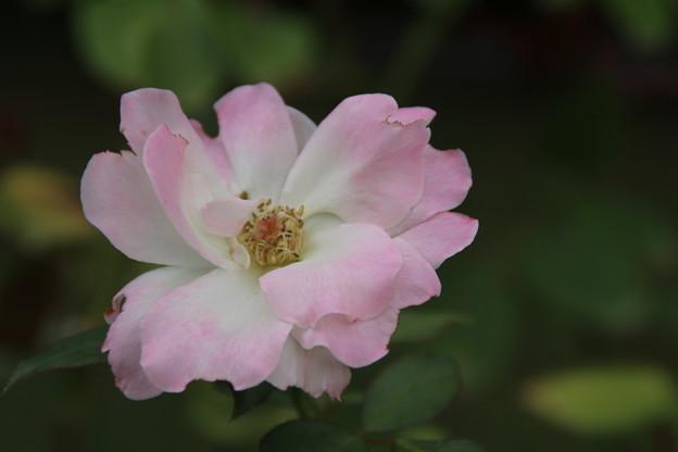 薔薇_公園 D6823