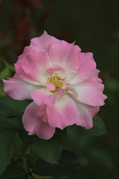 薔薇_公園 D6825