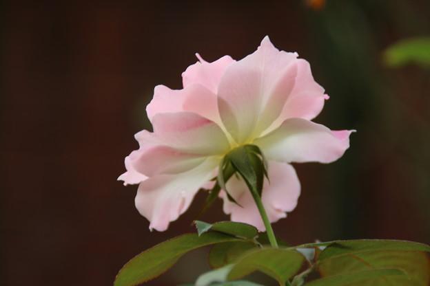 薔薇_公園 D6827