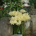白い彼岸花_散歩道 D6908