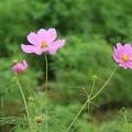 Photos: コスモス_公園 D7001