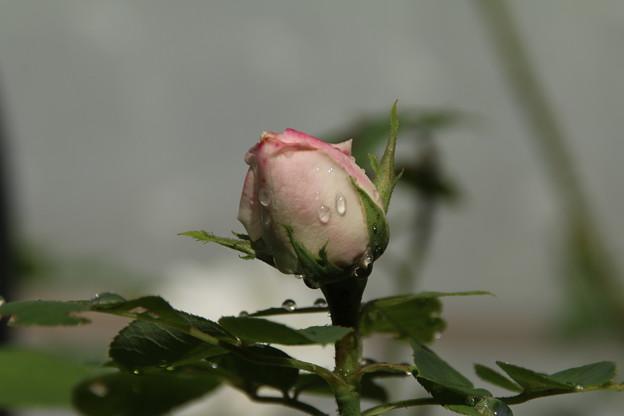 バラ_花壇 D7020