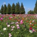 Photos: コスモス_公園 D7069