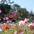Photos: コスモス_公園 D7066