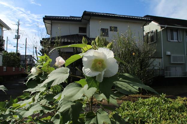 Photos: フヨウ_散歩道 D7042
