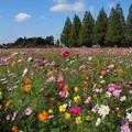 Photos: コスモス_公園 D7064