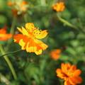 Photos: キバナコスモス_公園 D7107