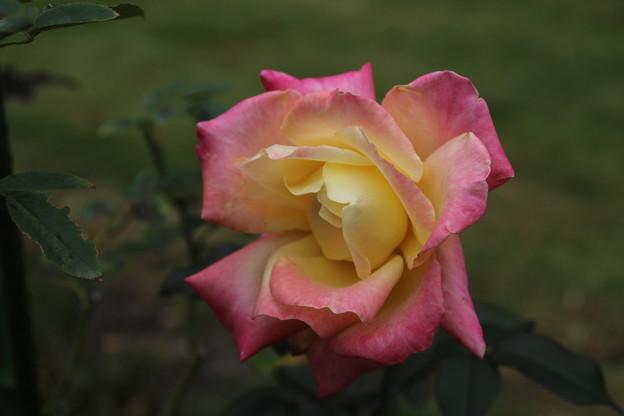薔薇_公園 D7176