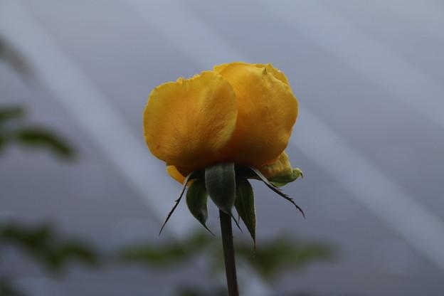 薔薇_公園 D7175