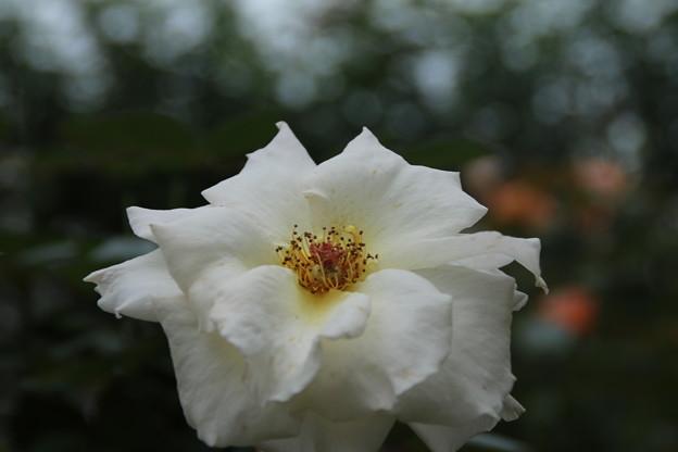 薔薇_公園 D7170