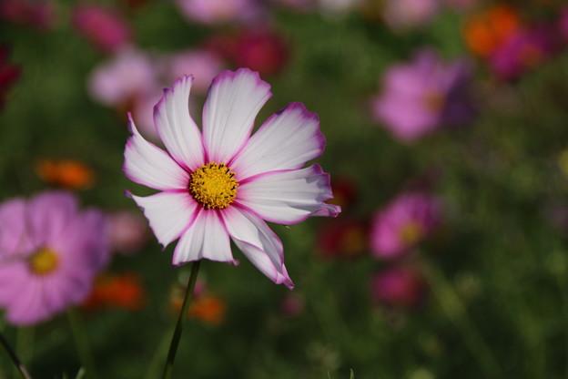 Photos: コスモス_公園 D7093