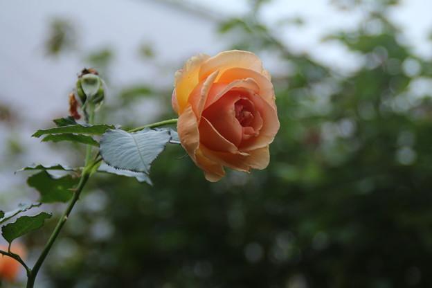 薔薇_公園 D7174