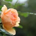 薔薇_公園 D7173