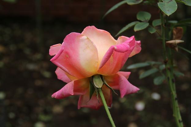 薔薇_公園 D7177
