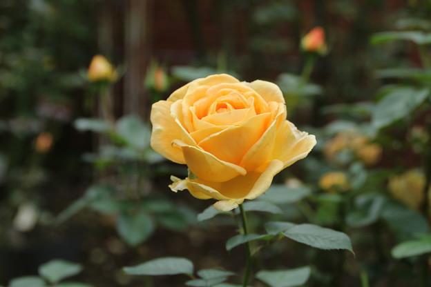 薔薇_公園 D7178