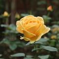 Photos: 薔薇_公園 D7178