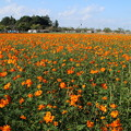 Photos: キバナコスモス畑_公園 D7112