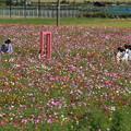 コスモス畑_公園 D7104