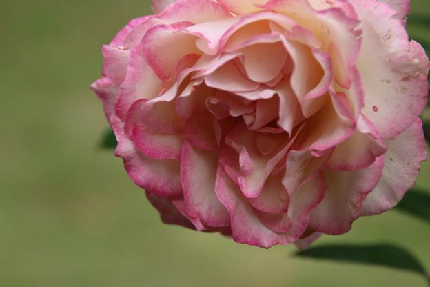 薔薇_公園 D7184