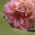 Photos: 薔薇_公園 D7184