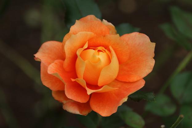 薔薇_公園 D7182