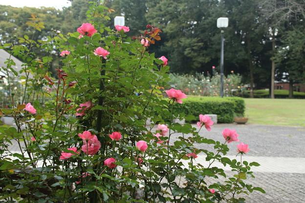 薔薇_公園 D7185