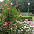 Photos: 薔薇_公園 D7185