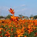 Photos: キバナコスモス_公園 D7114