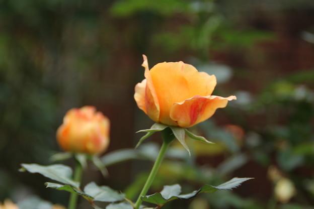 薔薇_公園 D7181