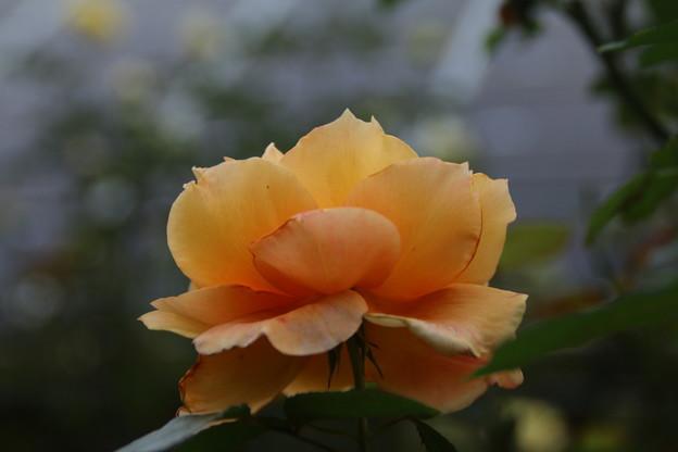 薔薇_公園 D7180