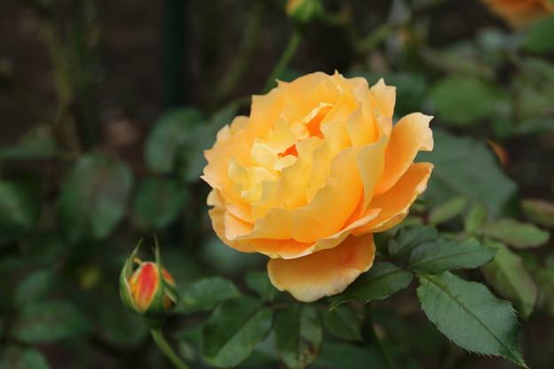 薔薇_公園 D7179