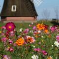 Photos: コスモス_公園 D7123