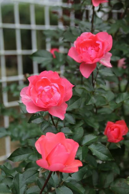 薔薇_公園 D7186