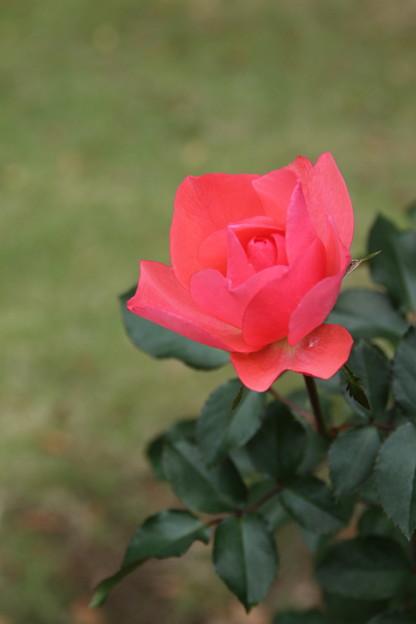 薔薇_公園 D7187
