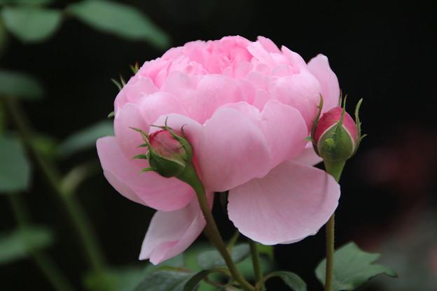 薔薇_公園 D7189