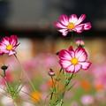 Photos: コスモス_公園 D7131