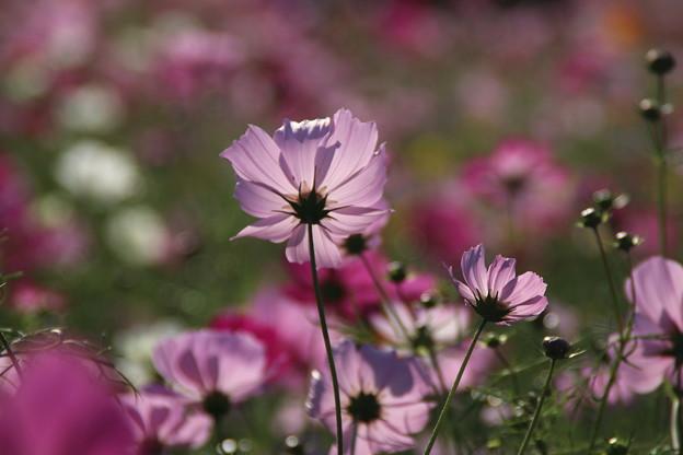 Photos: コスモス_公園 D7135