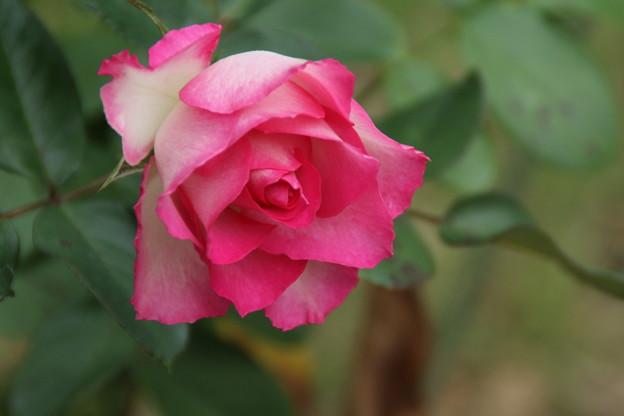 薔薇_公園 D7192