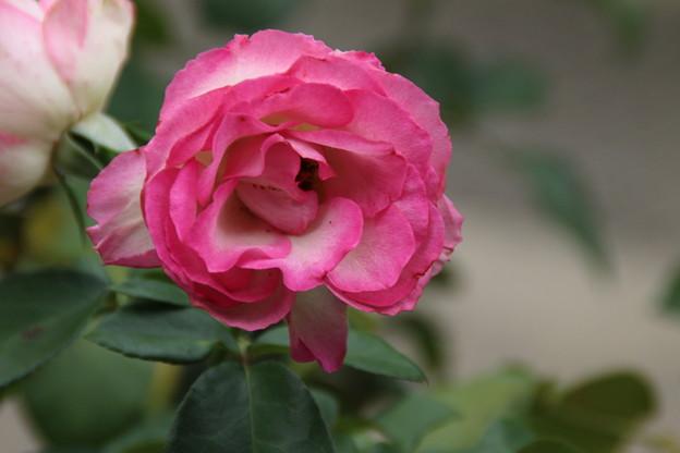 薔薇_公園 D7193