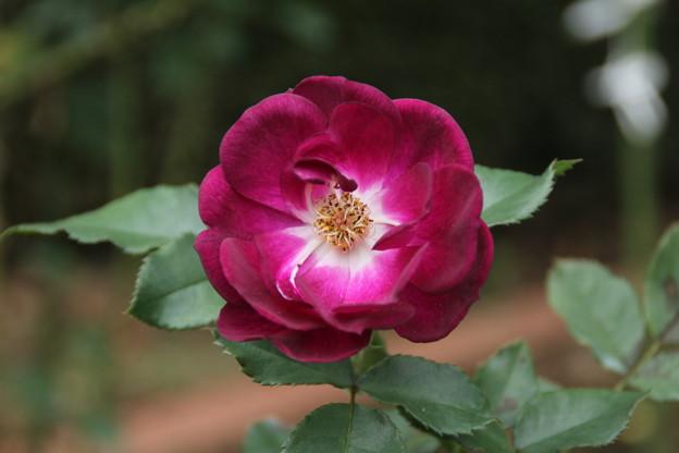 薔薇_公園 D7196