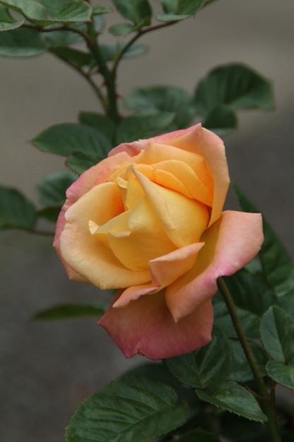 薔薇_公園 D7195