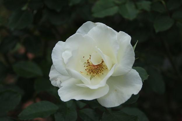薔薇_公園 D7198