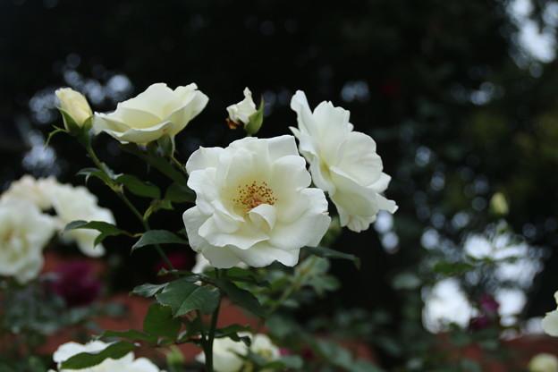 薔薇_公園 D7200