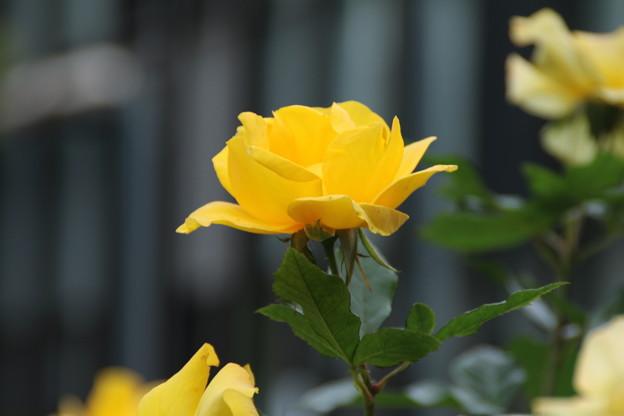 薔薇_公園 D7203