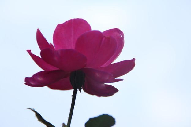 薔薇_公園 D7202
