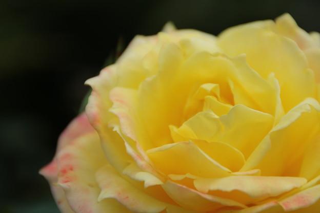 薔薇_公園 D7207