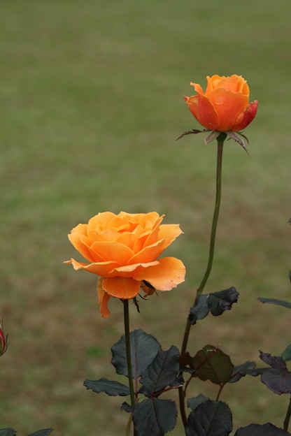 薔薇_公園 D7210