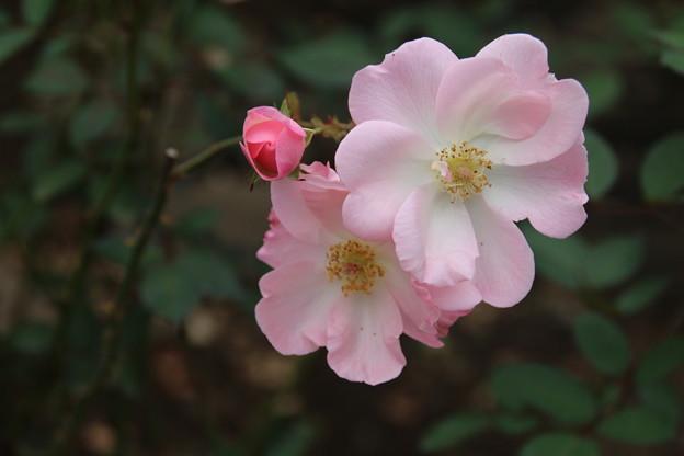 薔薇_公園 D7211